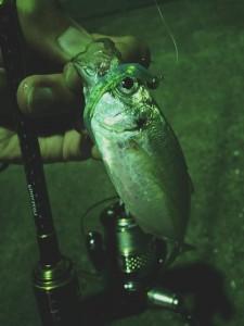 釣って楽しい!食べて美味しい!ゲーム性バツグン!アジングシーズン突入!