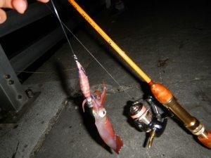 エギング初心者でも釣れちゃうケンサキイカが釣れてます!