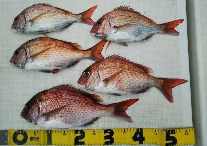まいどですニスギ!今年は明石真鯛がよく釣れています!明石・鳴門の鯛は日本で3本の指に入るブランドマダイ!!あとの2本は・・知りませんww!